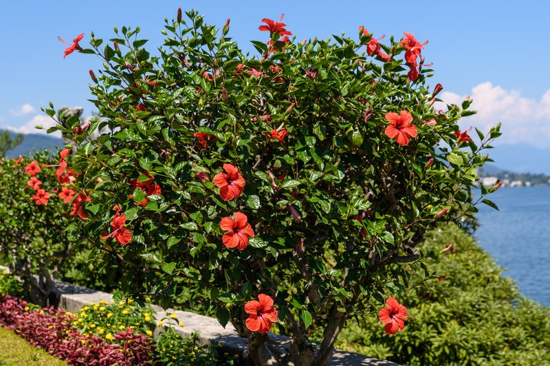 Balanta Cosmetics_Hibiscus_tree